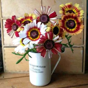 chrysanthemum-carinatum-hippy-rainbow (1)