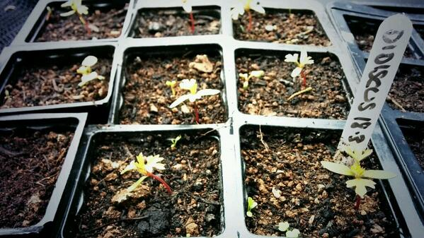 6 week old Didiscus seedlings.