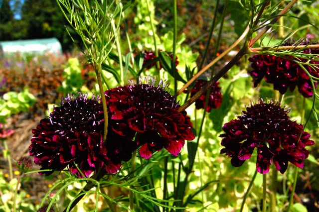 Scabiosa 'Back in Black'