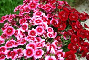 Sweet William: How To Grow From Seed.