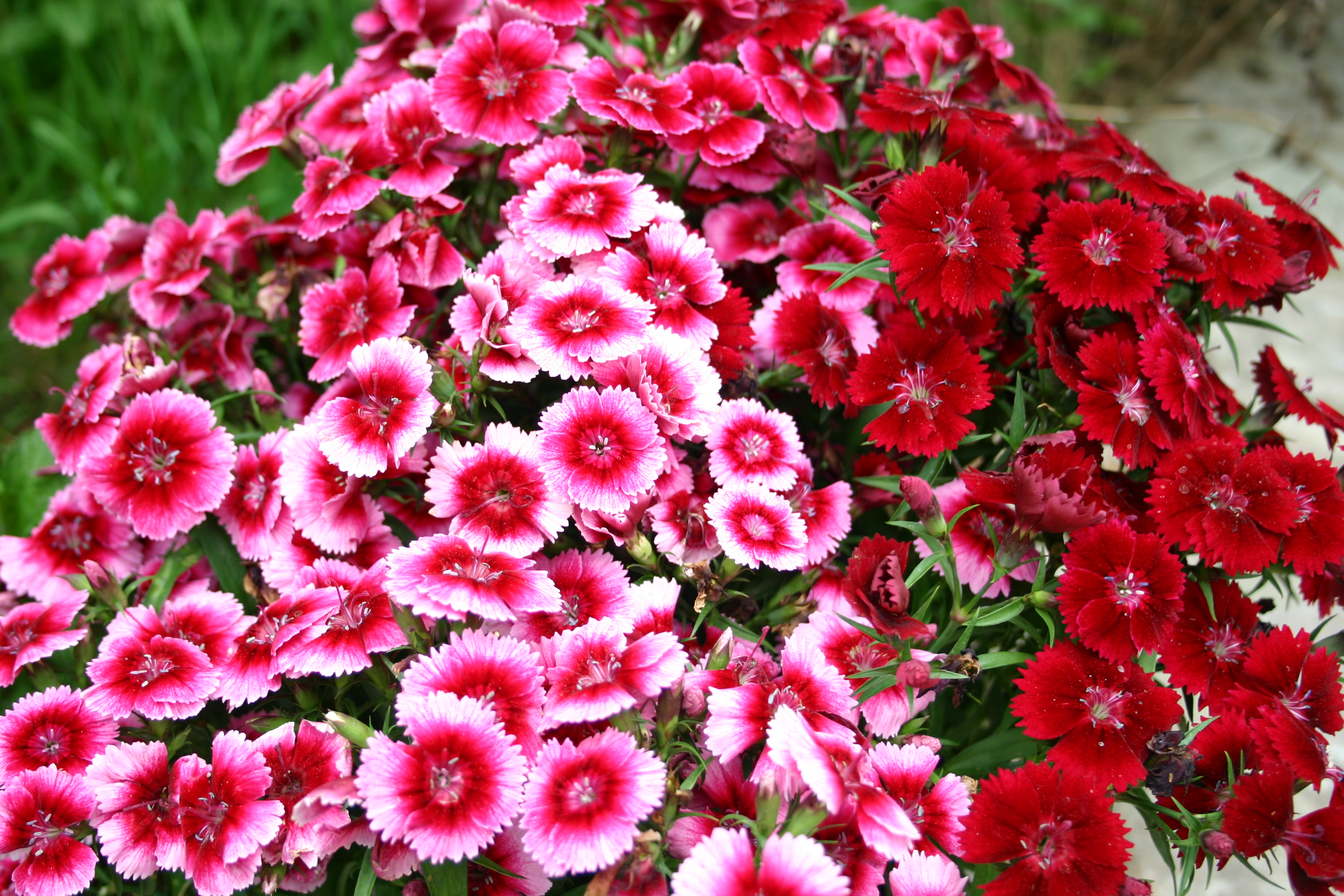 Sweet William How To Grow From Seed – Higgledy Garden