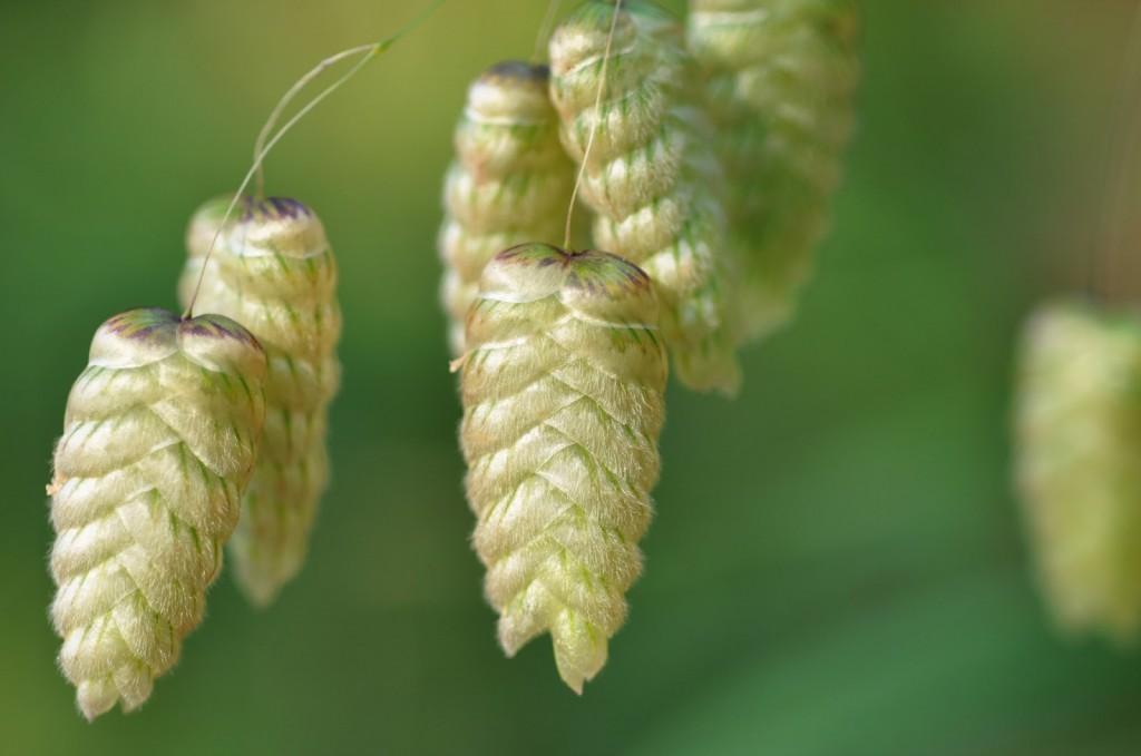 briza-grass