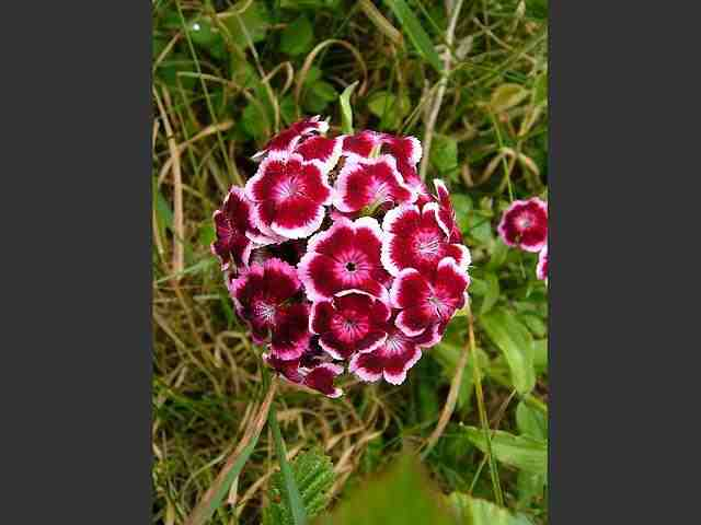 dianthus_barbatus_sweet_william_flowers_23-06-06_1