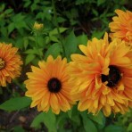 Rudbeckia. 'Goldilocks'.