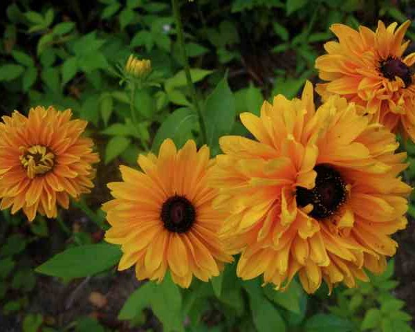 rudbeckia-Goldilocks