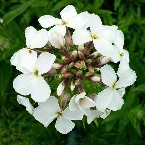 Hesperis White