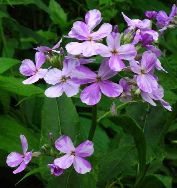 Hesperis In Late May.