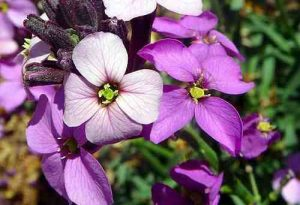 Lunaria. (Honesty)