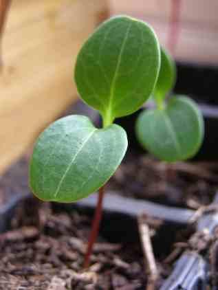 Lunaria Seedling.