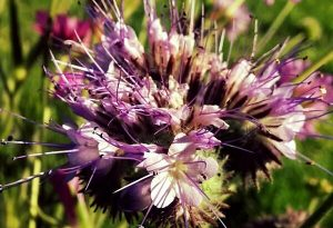 This Phacelia flower photo was taken today from seeds sown in late April.