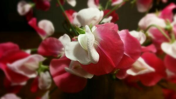 Sweet Pea 'Painted Lady'