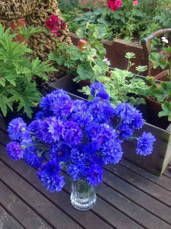 The stunning blue of cornflower 'Blue Ball' taken by @LP_Lisa.