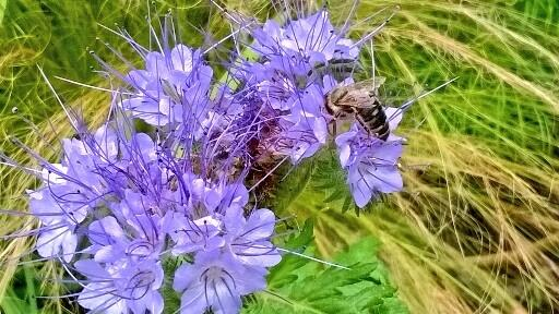 Phacelia from @Mikeandhisdog (or in this case his bee)