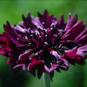 Cornflower-Black-Ball