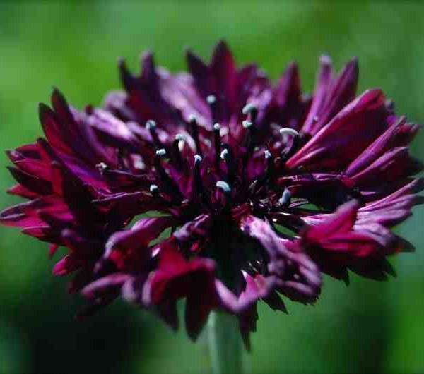 Cornflower-Black-Ball