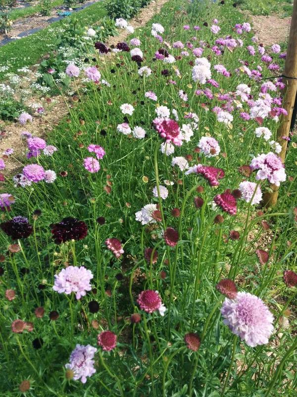 Autumn Sown Scabious At Roswartha Farm.