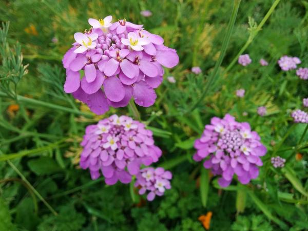 The underrated Candytuft...cute a s button...as smells sweet too.