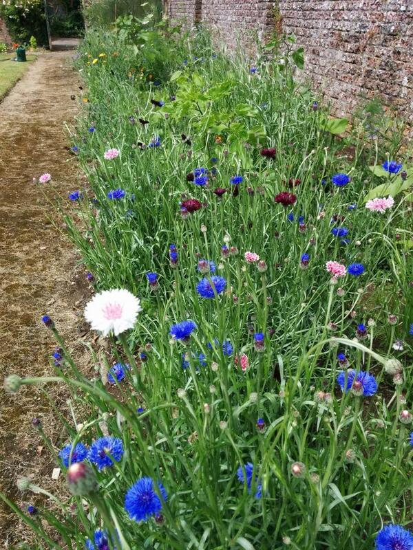 Cornflowers just coming into flower...grown by @CarthyStGermans