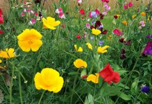 Autumn sown eschscholzia hanging out with sweet peas.
