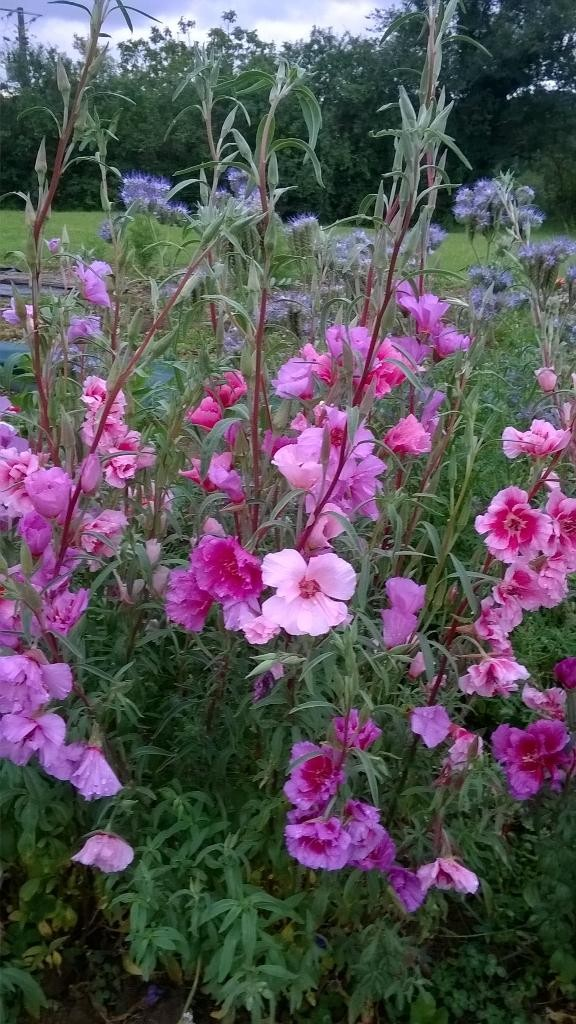 Godetia with Phacelia in the background grown by @Gardennutter (Twitter)