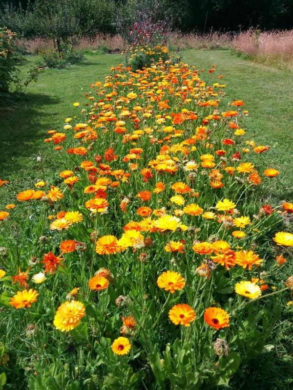 I usually get carried a way sowing Calendula...this bed is no exception. :)