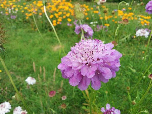Scabiosa 'Crown' At Higgledy HQ.