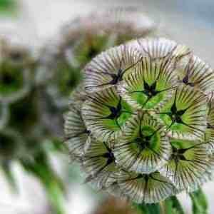scabiosa-ping-pong