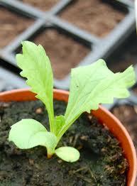 Scabiosa Seedling.