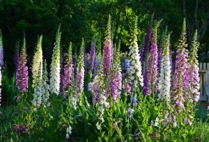 Sow Foxgloves In June