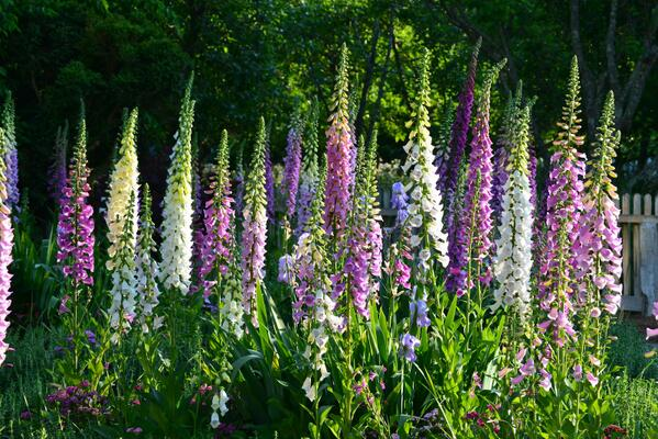 Sow Foxgloves In June & July.