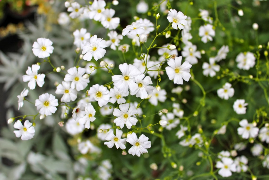 Gypsophila 'Covent Garden' is wildly underestimated. We love it!