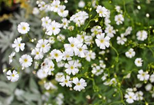Gypsophila Covent Garden is wildly underestimated. We love it!