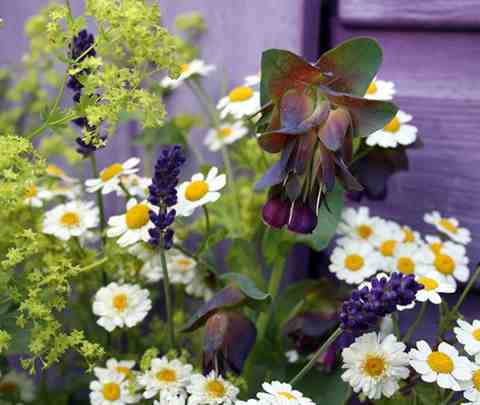 Cerinthe hanging out with Feverfew...I think this is @sanguisorba's photo.
