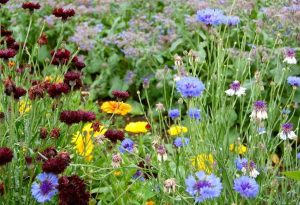 Cornflowers and Calendula...super reliable hardy annuals.
