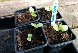 Scabiosa Ping Pong Seedlings