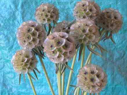 Scabiosa Ping Pong (seed heads)