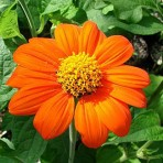 Tithonia Rotundifolia. New For The 2015 Season.