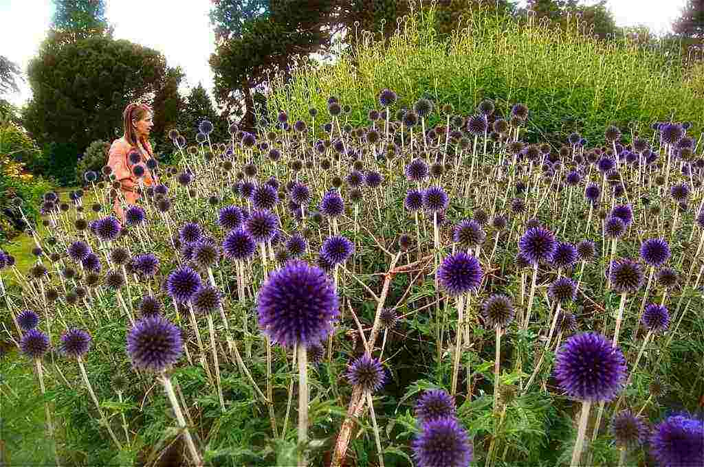 Perennial flowers for your cutting patch higgledy garden echinops mightylinksfo