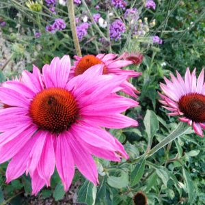 Echinacea 'Deep Rose' grown by Mari at Roswartha Farm.