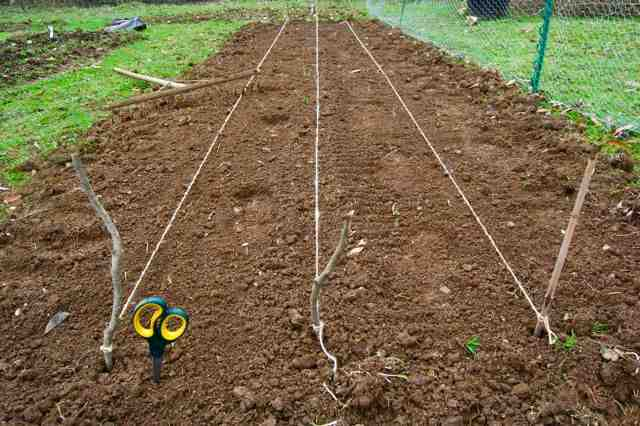 Sowing in straight lines a foot apart is the best plan.