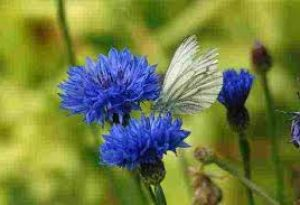 Cornflower Blue Ball.