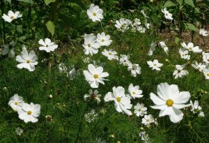 Cosmos are workhorses in your flower patch....don
