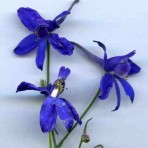 Consolida Regalis. Forked Larkspur. 'Snow Cloud'.