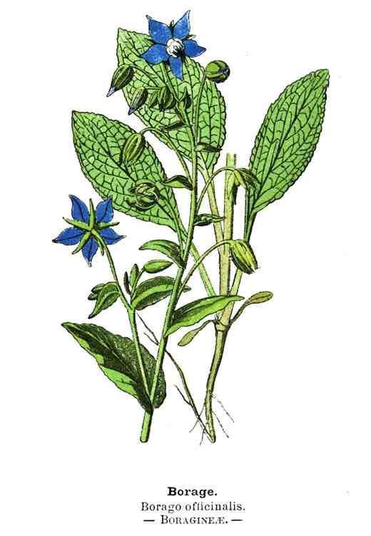 Botanical-Borage-Wayside-Woodland-1895-520