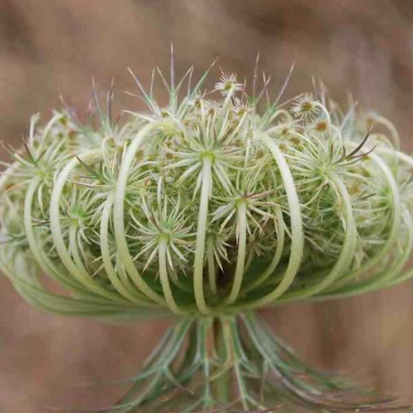 Daucus-seeds