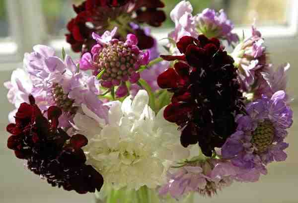 Scabiosa grown by @prettyfloralUK...mighty fine simple arrangement...love it.