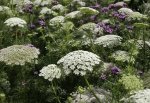 Annual Flowers For Cutting: Ammi majus & Ammi visnaga.