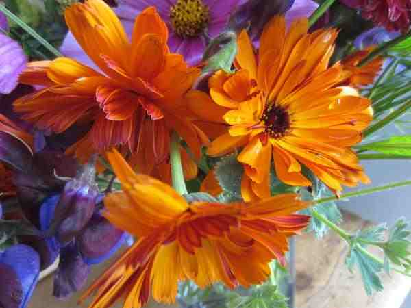 Calendula grown by Sarah Chilton...good show Sarah!