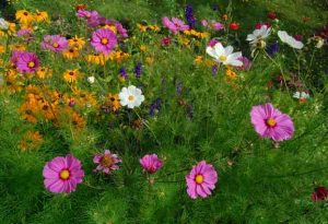Cosmos Sensation with Rudbeckia Marmalade in the background.