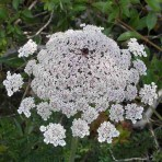 Daucus Carota. Queen Anne's Lace.